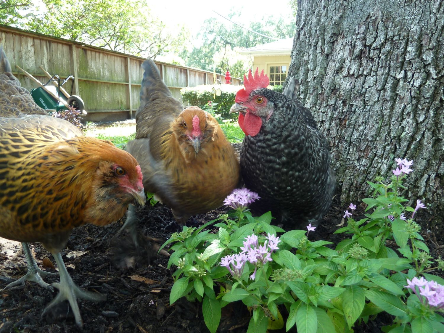 cozy cottage coop backyard chickens