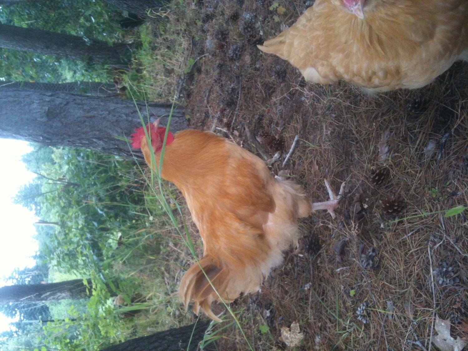 show off your roosters backyard chickens