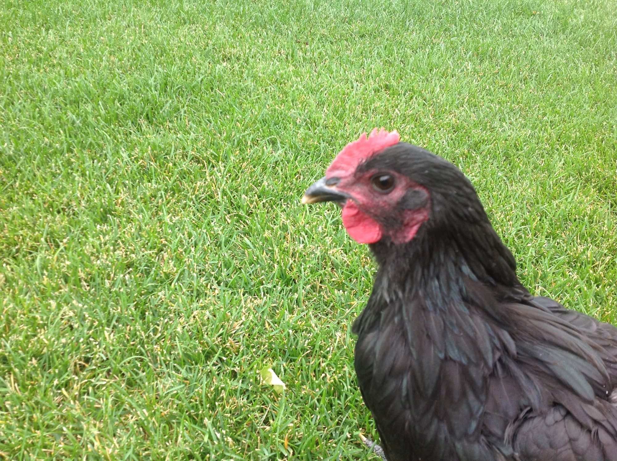 black australorp cockerel or pullet backyard chickens