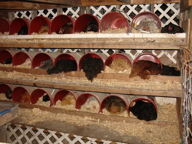 Using Pine Needles For Chicken Bedding