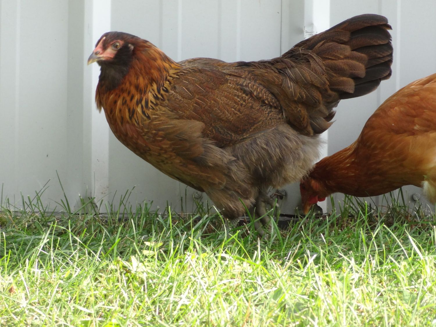 13 week old easter eggers roosters or hens backyard chickens