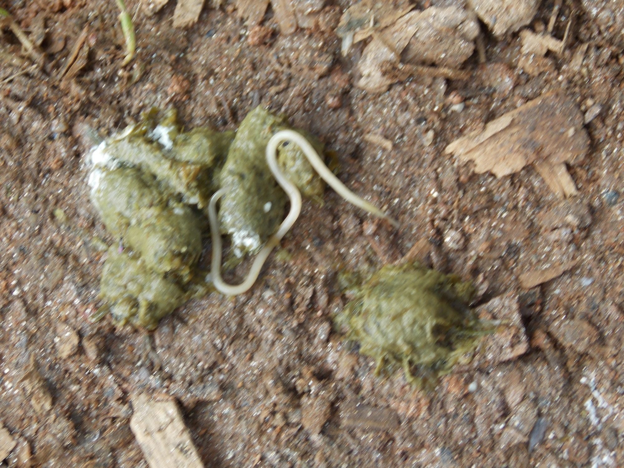Dog Poop With Worms