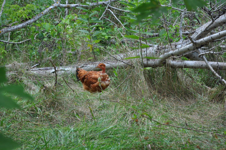 wild chickens