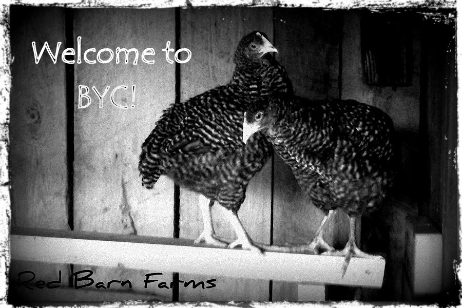 Rebel Soldier | BackYard Chickens