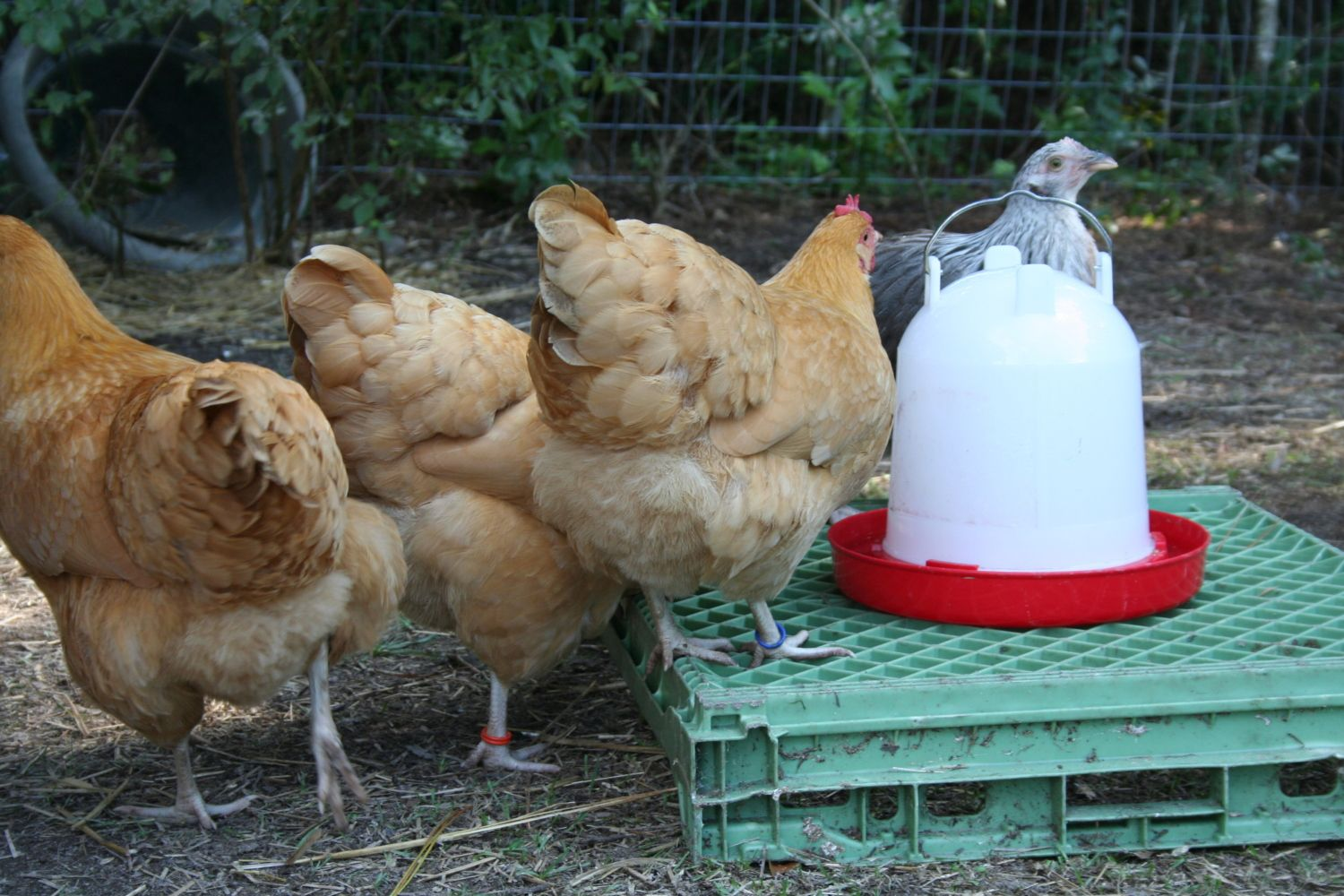 Corid and laying hens???? can I eat the eggs?? | Page 3 ...