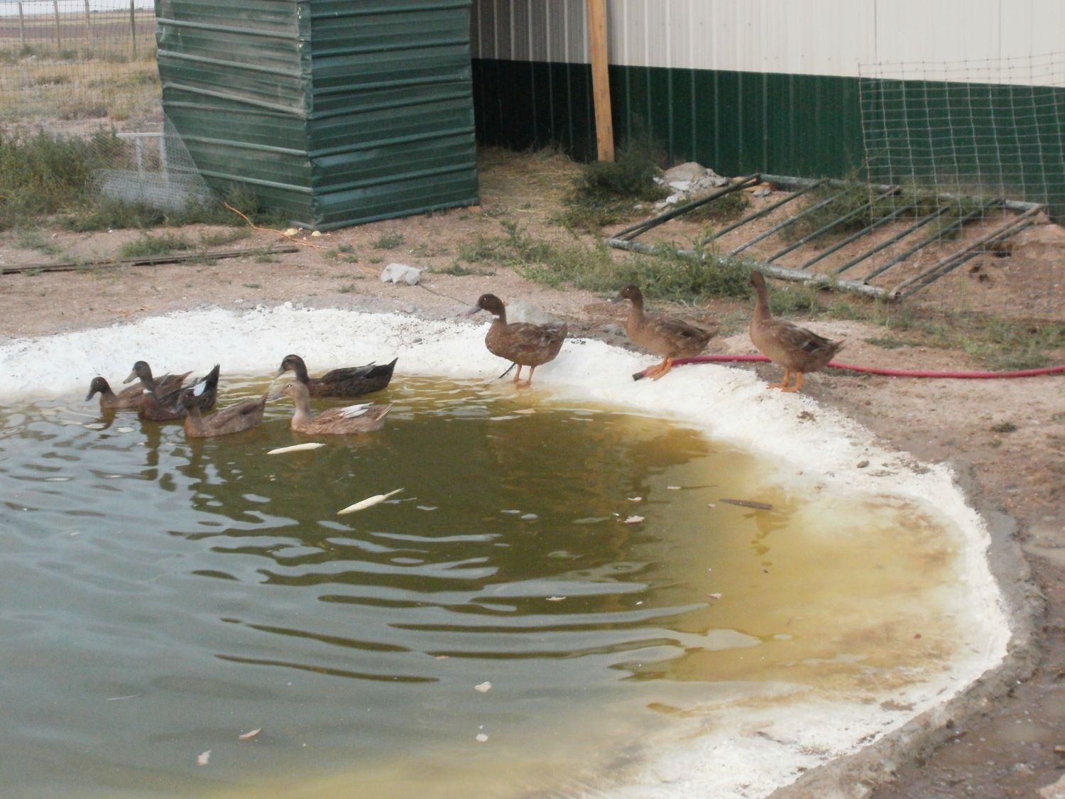 Quacker shack is done duckponics in action for Duck pond filtration