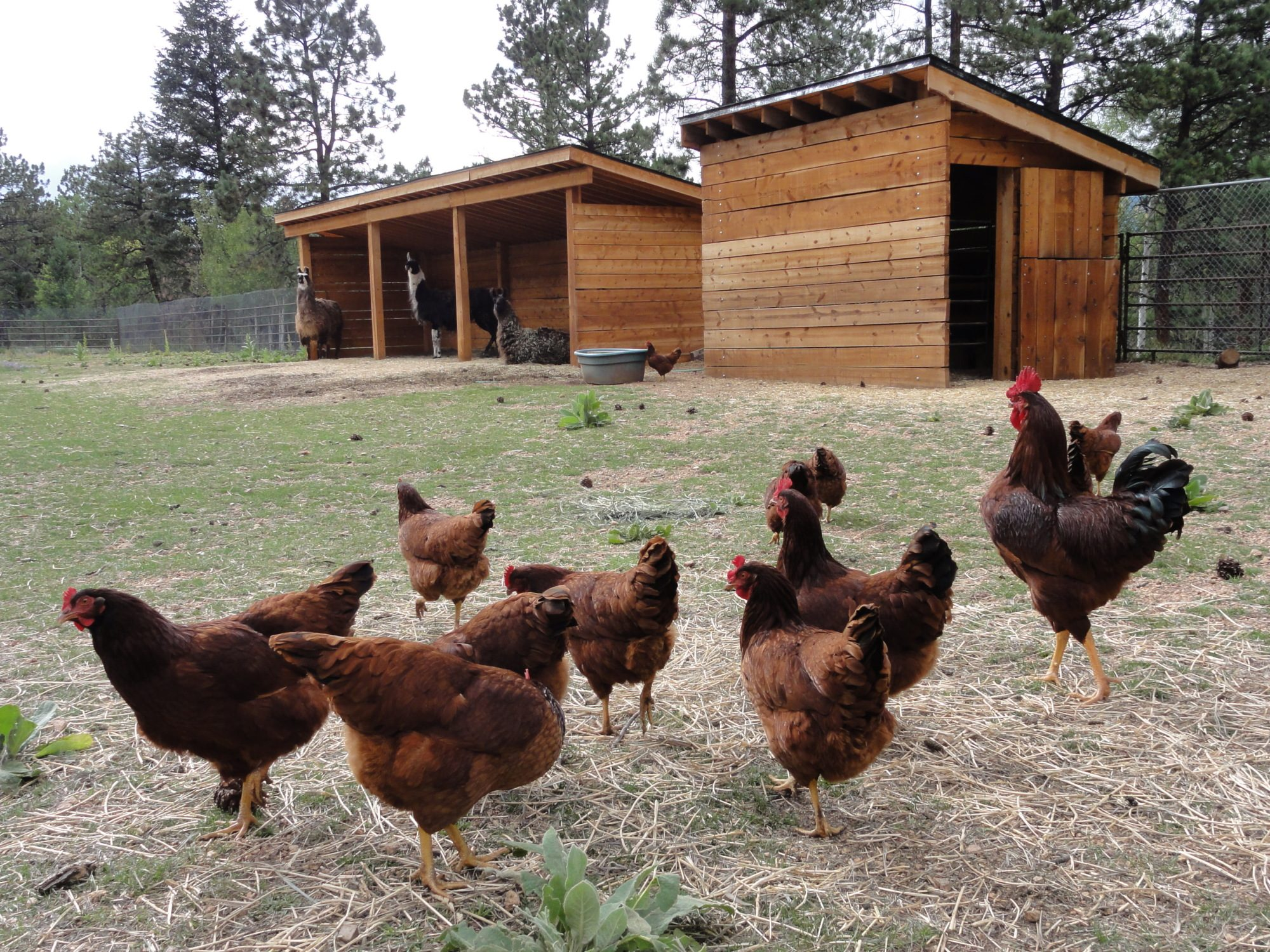 how to keep bears away from chicken coop