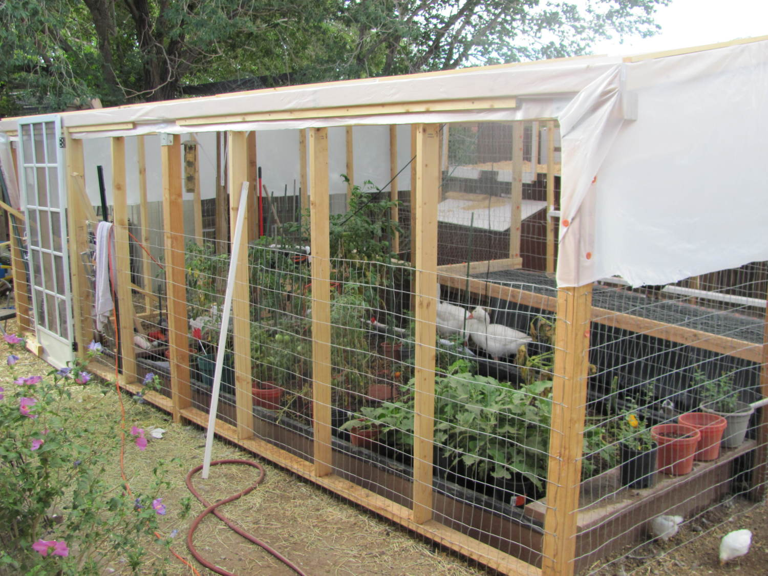goose duck ponics up and running backyard chickens
