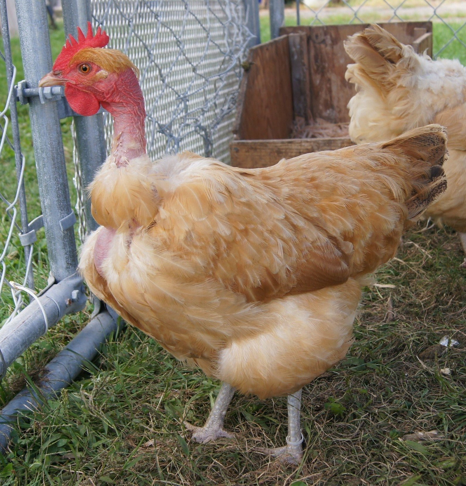 naked neckturken thread page 532 backyard chickens
