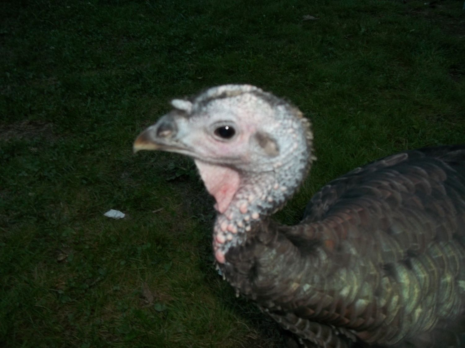 sexing broad breasted bronze turkeys with updated pics