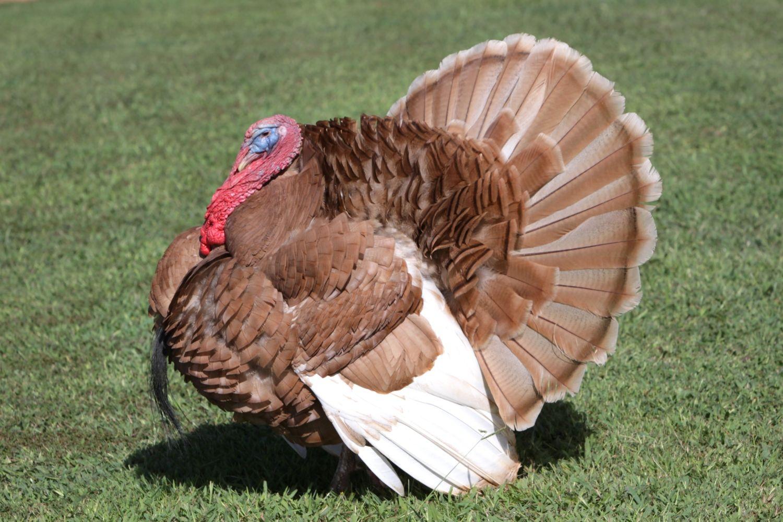 tom turkey show backyard chickens