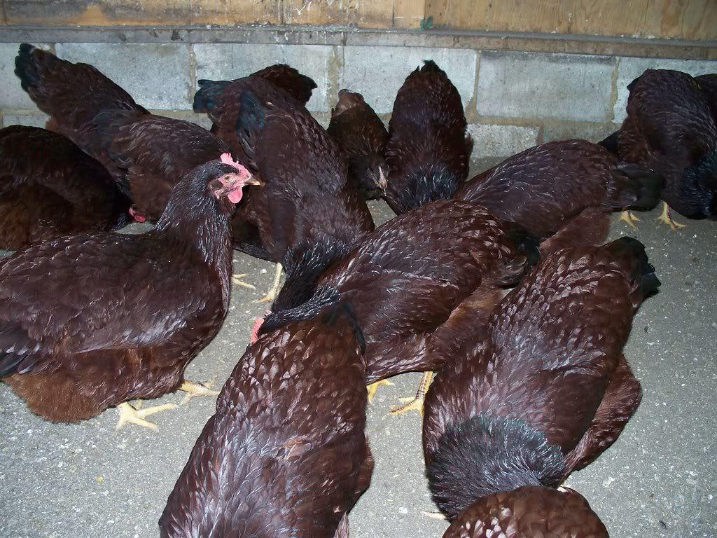 Seldom.. Mature rhode island red hen are