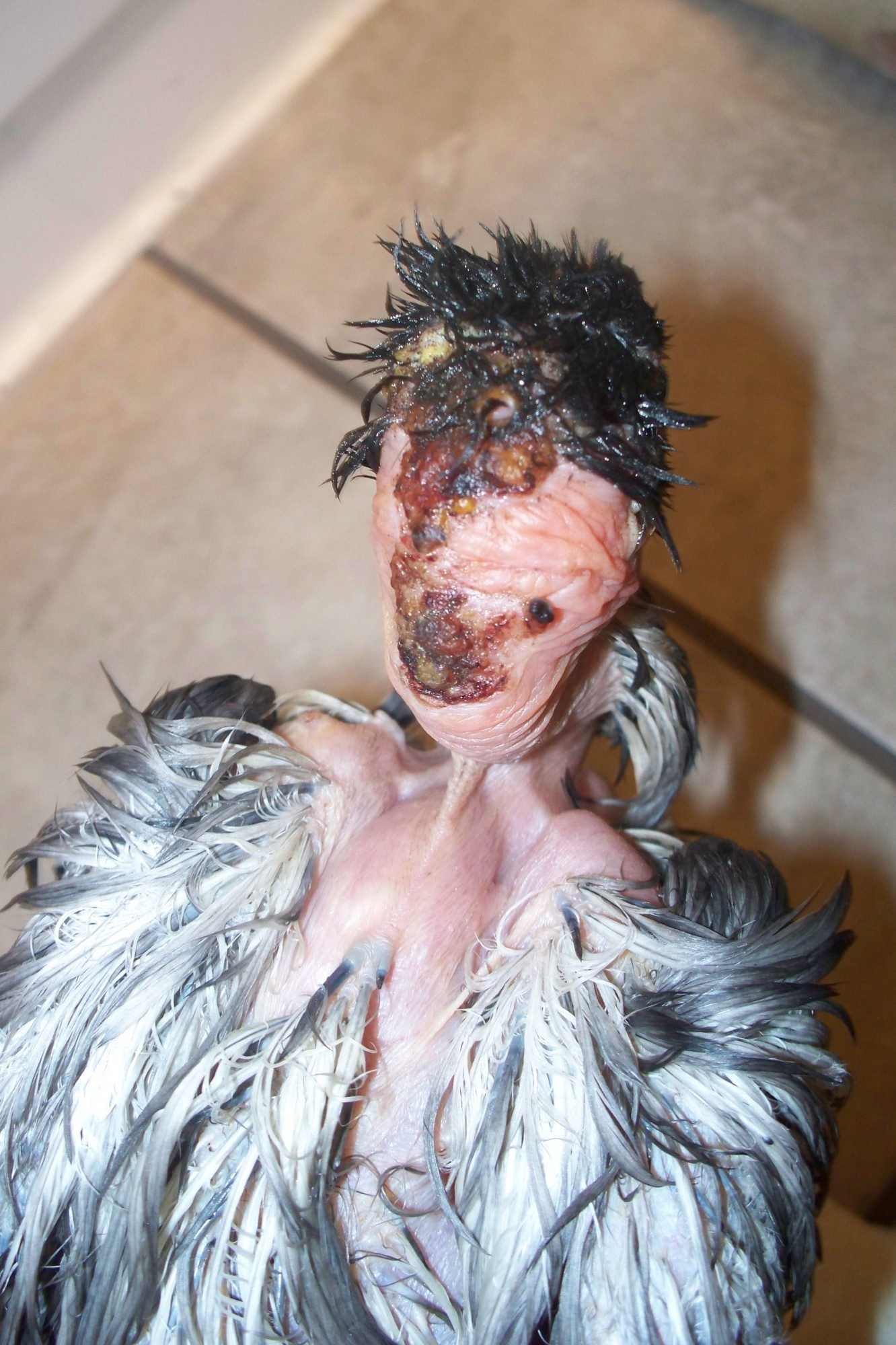 How I Saved My Chicken After A Hawk Attack Graphic Wound Pics