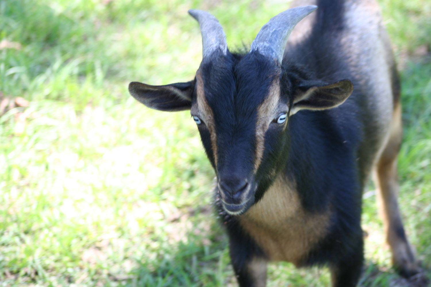 New To The Goat Game Anyone With Nigerian Dwarf Pygmies