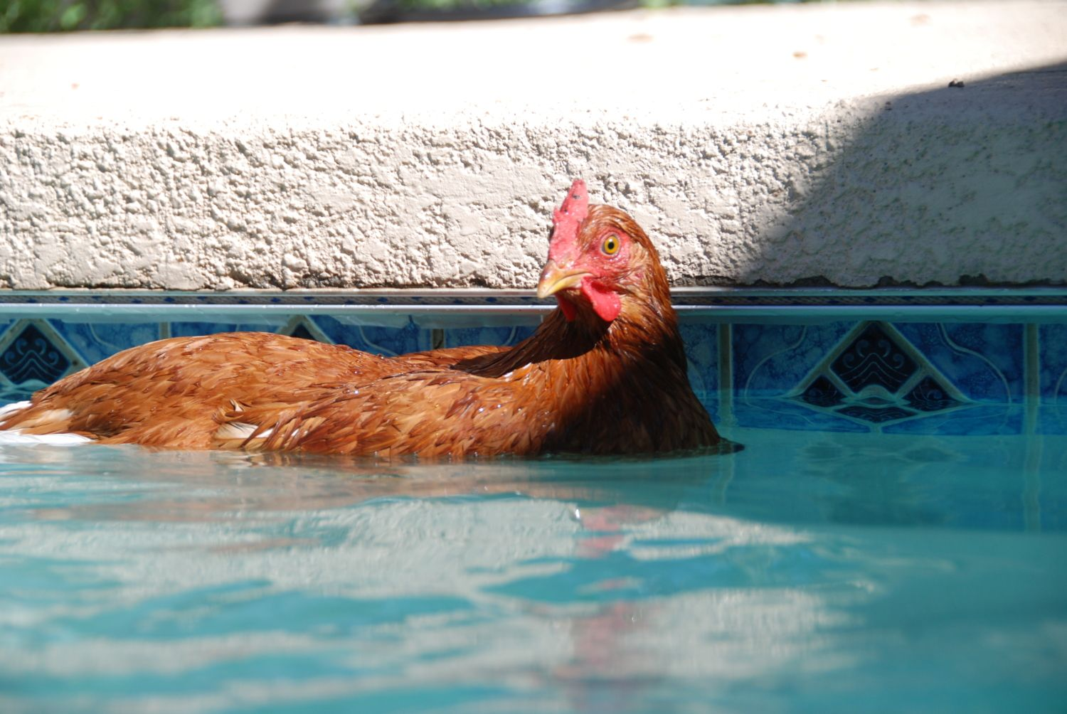 Your chicken pictures needed for the byc 2013 calendar for Chicken in swimming pool