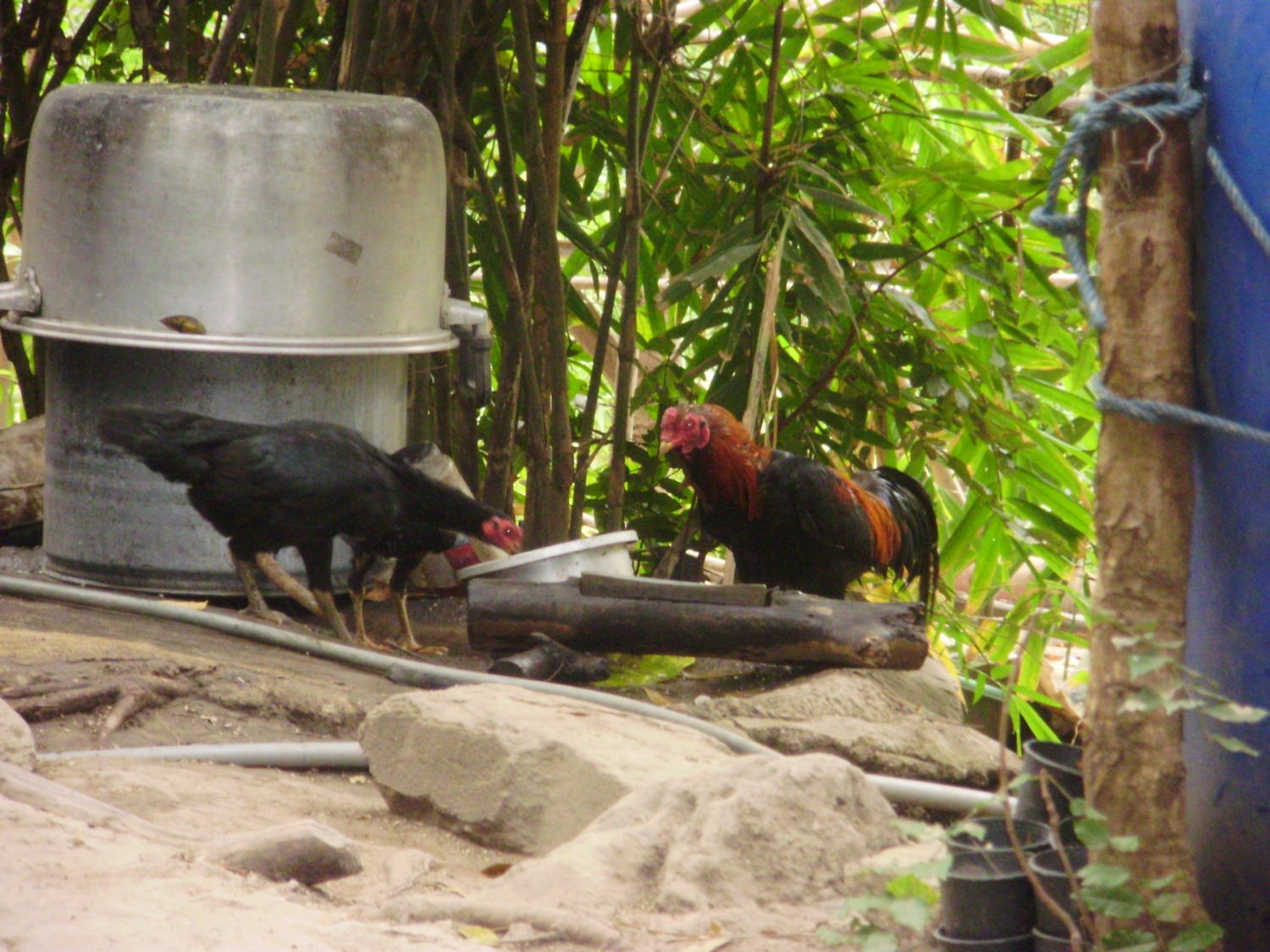 Oriental Gamefowl Thread! | Page 233 | BackYard Chickens