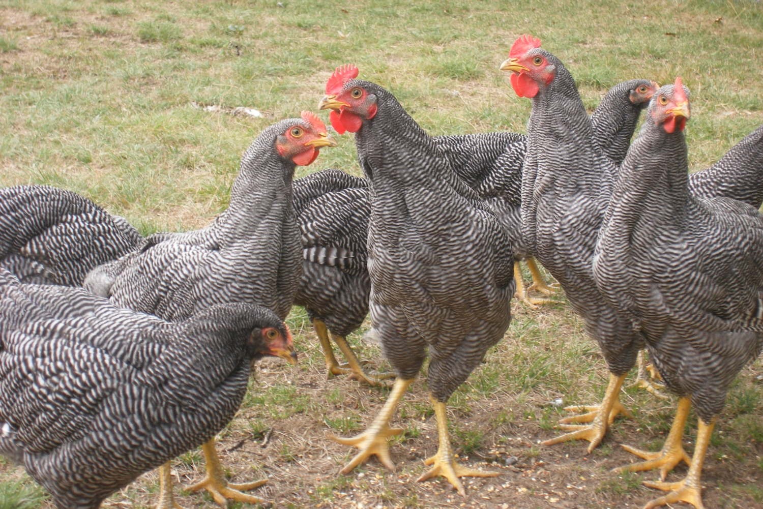 What is the Breed Standard of the Barred Plymouth Rock ...