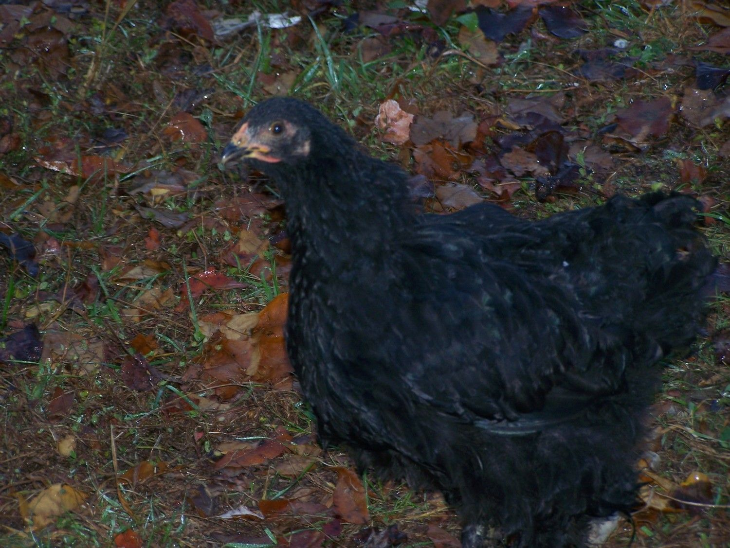 Help Please Pullet W Black Tarry Stool Can T Find