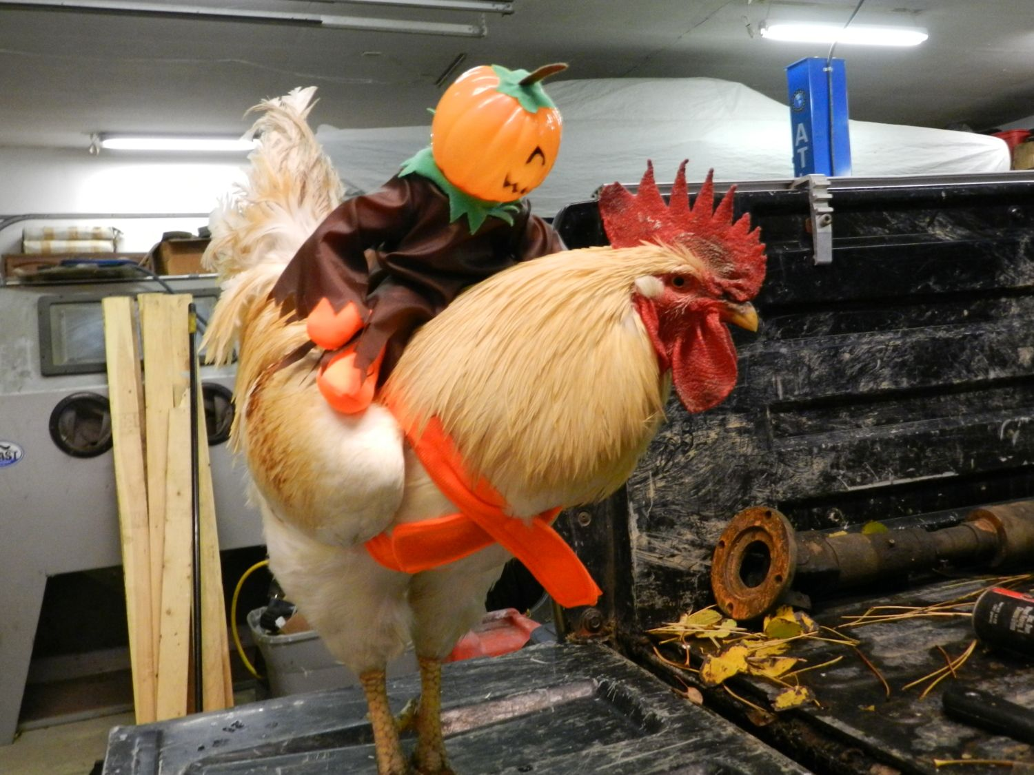 Nats Chickens likes this. & Chicken Costumes - Share your pictures! | Page 6 | BackYard Chickens