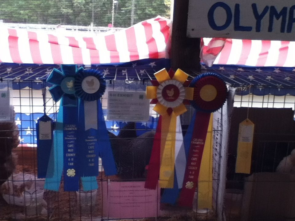 I had participated in showmanship during the 4-H fair and it was my first year. Here is a pic of the cage my Barred Rock Bantams were in. I won First Place, Grand Champion Showmanship, Grand Champion Hen, and Reserve Champion Rooster.