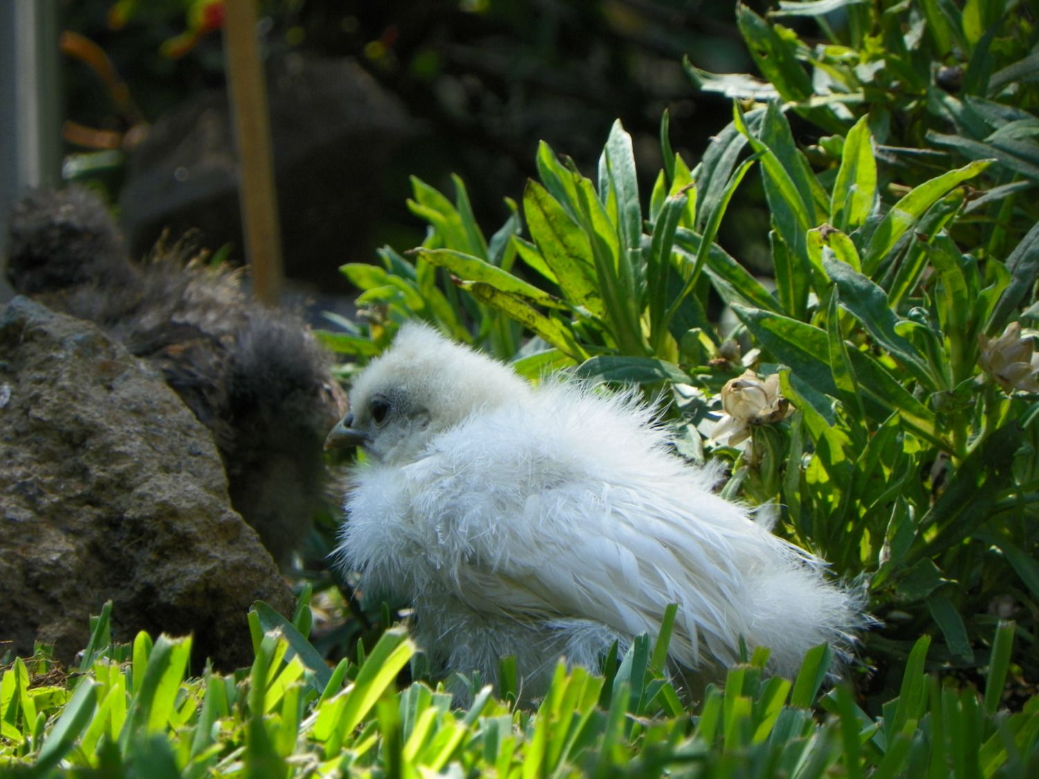 coccidiosis prevention cure and natural healing backyard chickens