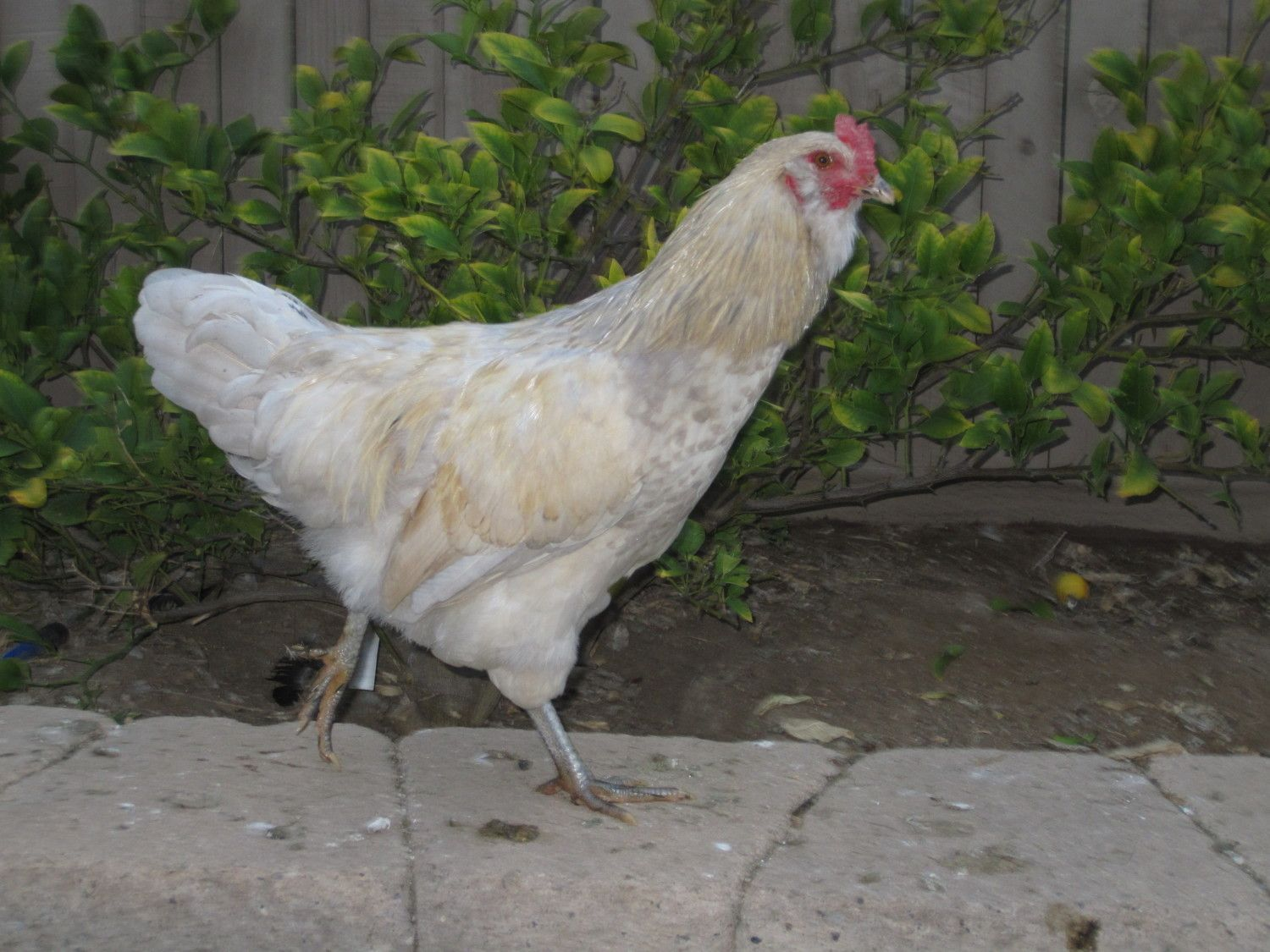 Hen or Rooster?