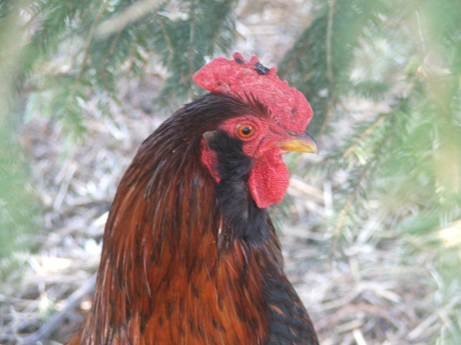my rooster suddenly has black spots on his comb backyard chickens