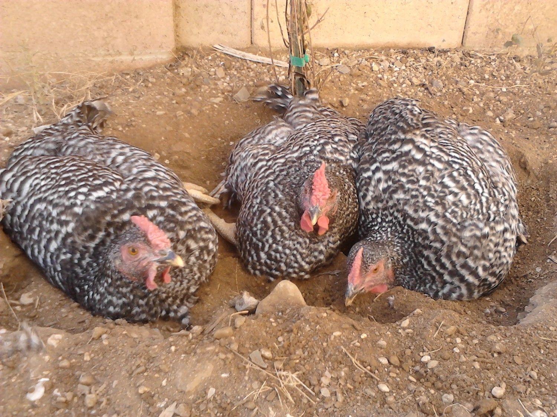 garden design with need quiet chicken breeds page with garden pathways from backyardchickenscom