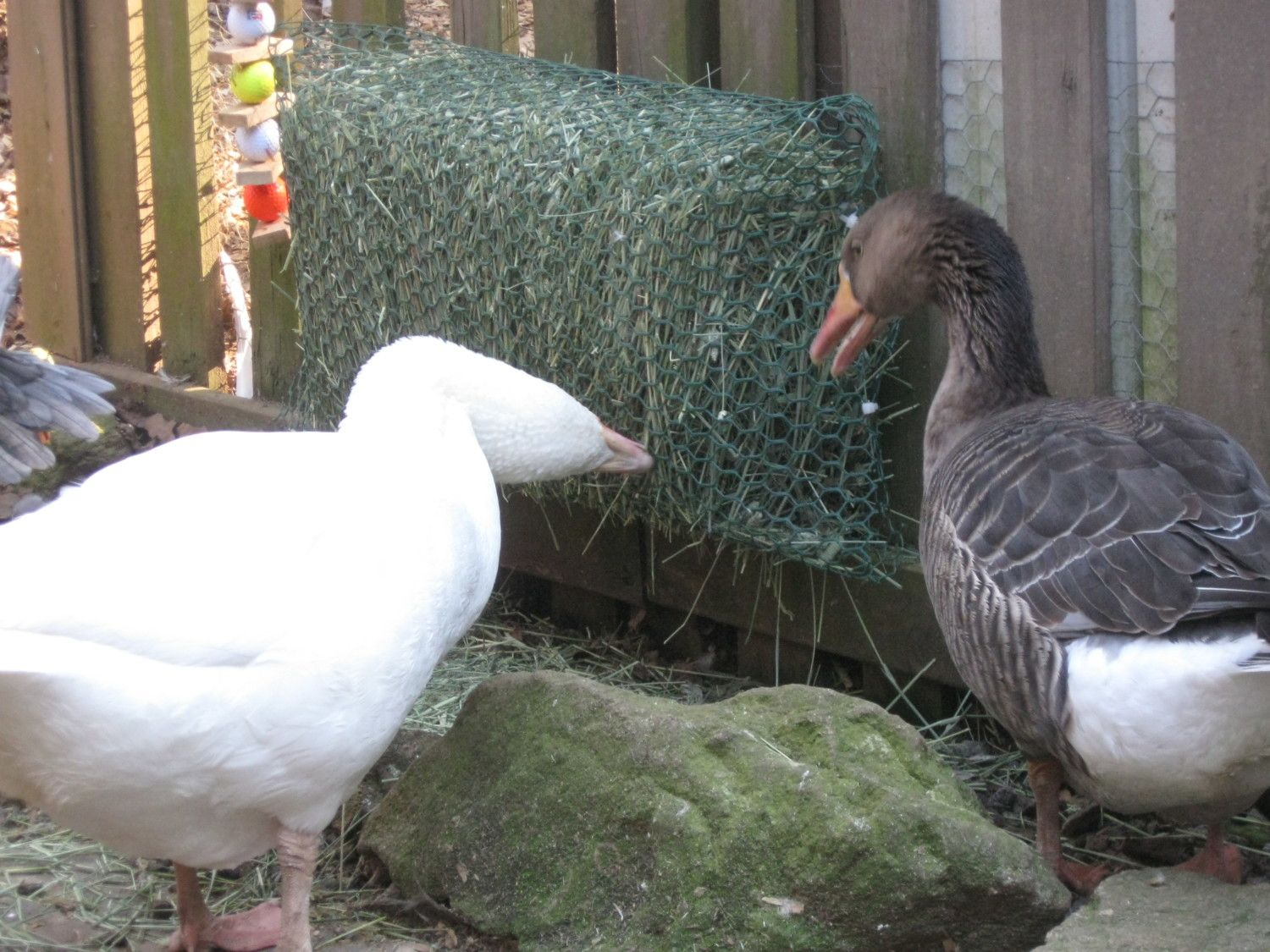 As Suggested I Bought A Bale Of Timothy Hay For My 2 Geese And Although It Took Them Few Days To Nibble See If They Like Id Say Today Love