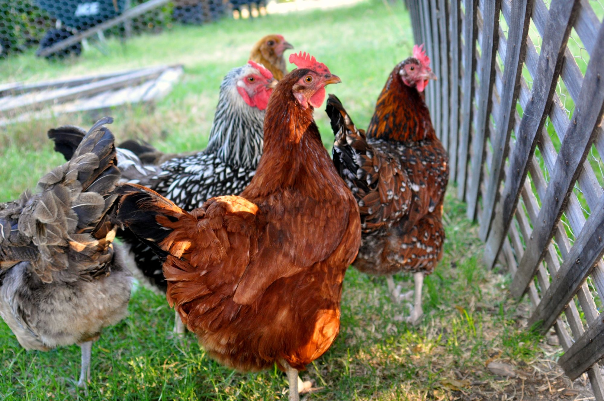 how to keep different poultry types living together in one coop