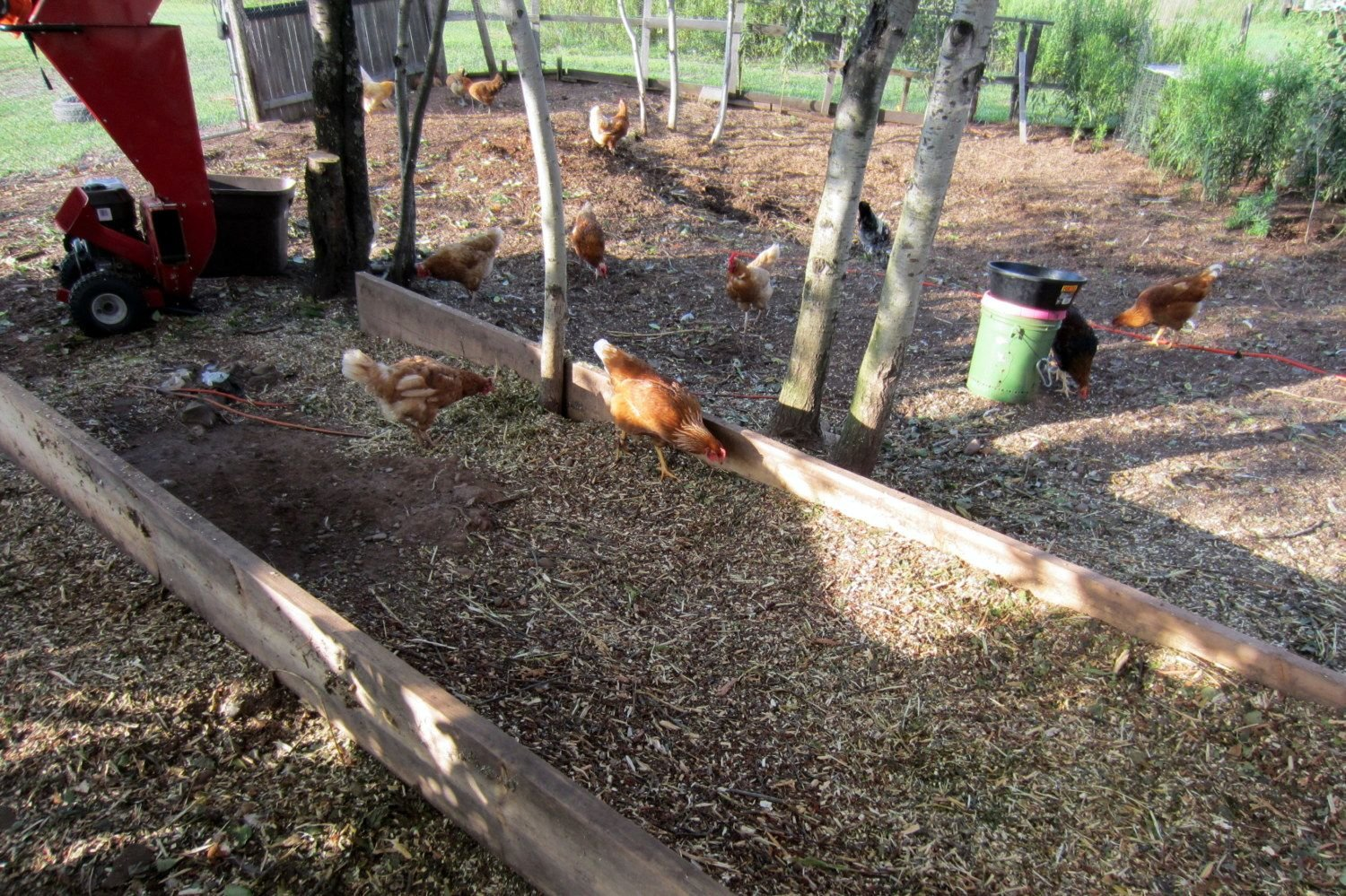 composting with chickens backyard chickens