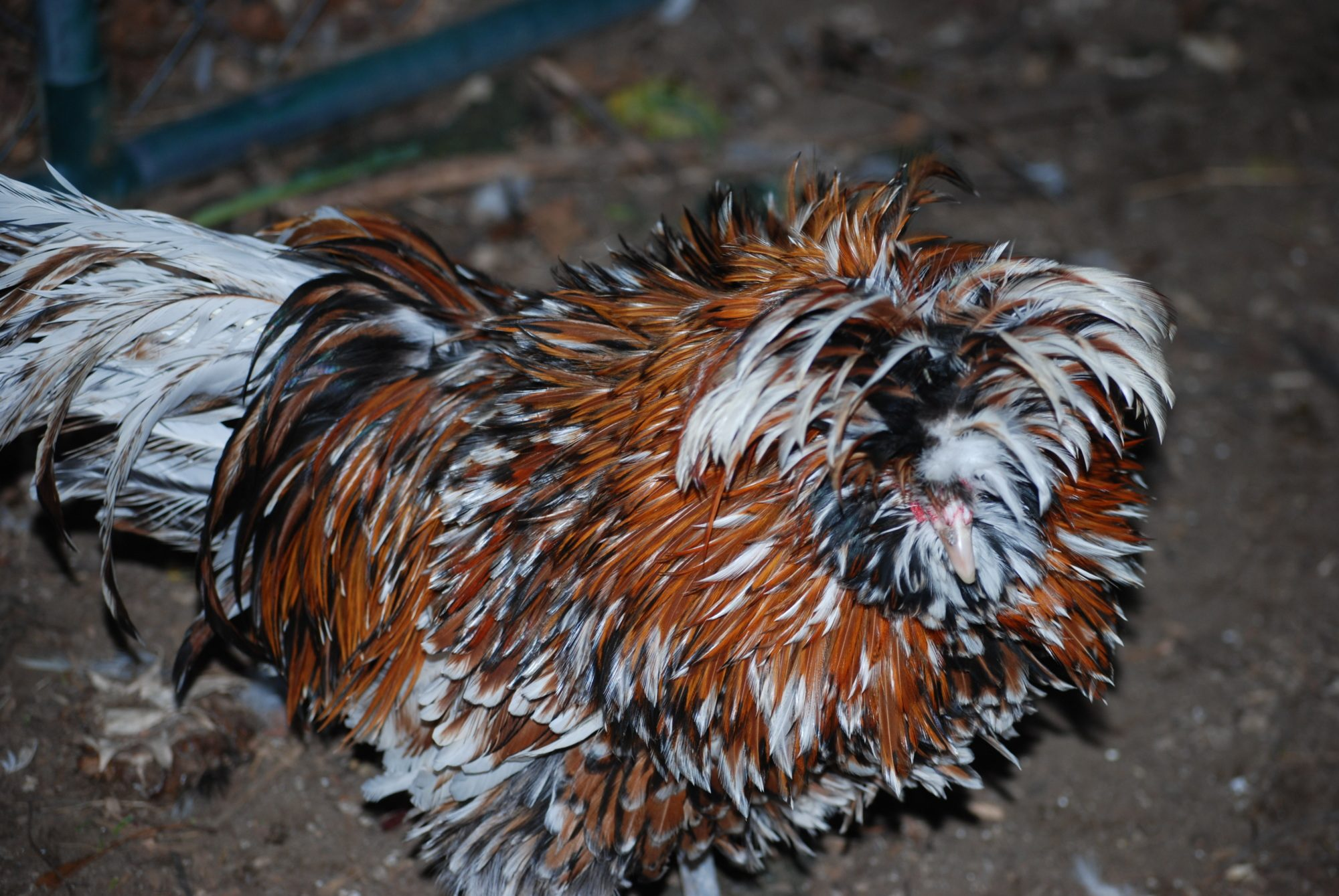 two breeding quality tolbunt polish roosters for sale