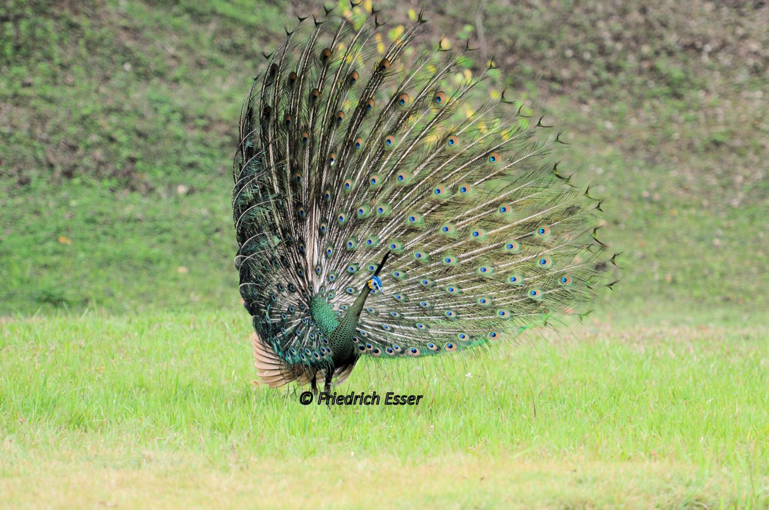 pictures from wild green peacock in northern thailand and java