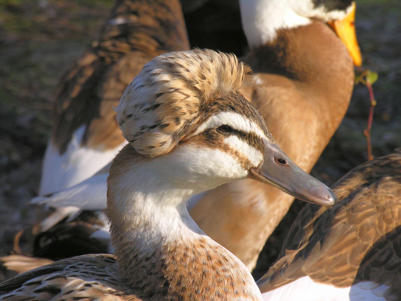 Anyone have Saxony ducks or Silver Appleyards | BackYard Chickens