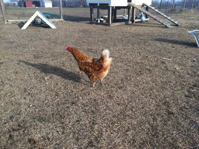 What kind of chickens do I have? | BackYard Chickens ...