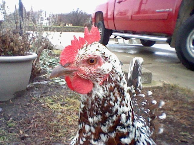 This is Comet. She is a Speckled Sussex. She is our tamest chicken.