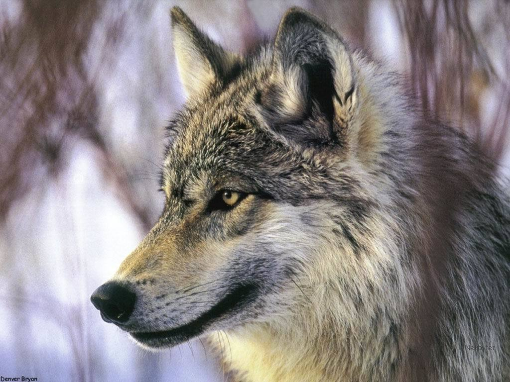 Run With The Pack ~A Wolf RP Characters | BackYard Chickens