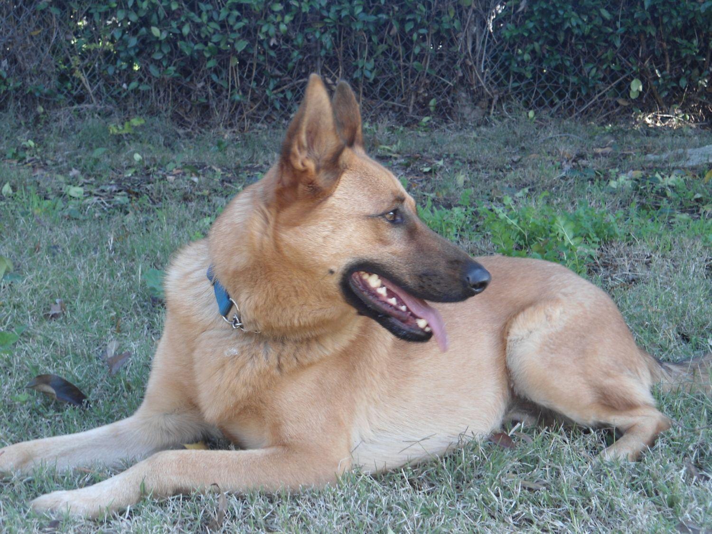 Australian Shepherd Border Collie Lab Mix | Dog Breeds Picture