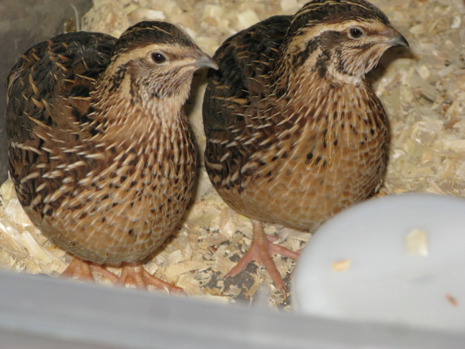 Jumbo coturnix quail - photo#4