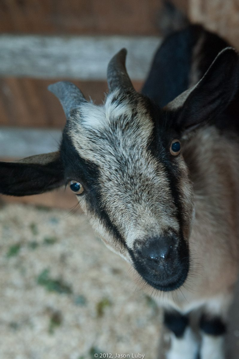 Do You Own A Goat Or A Pig Advice Needed