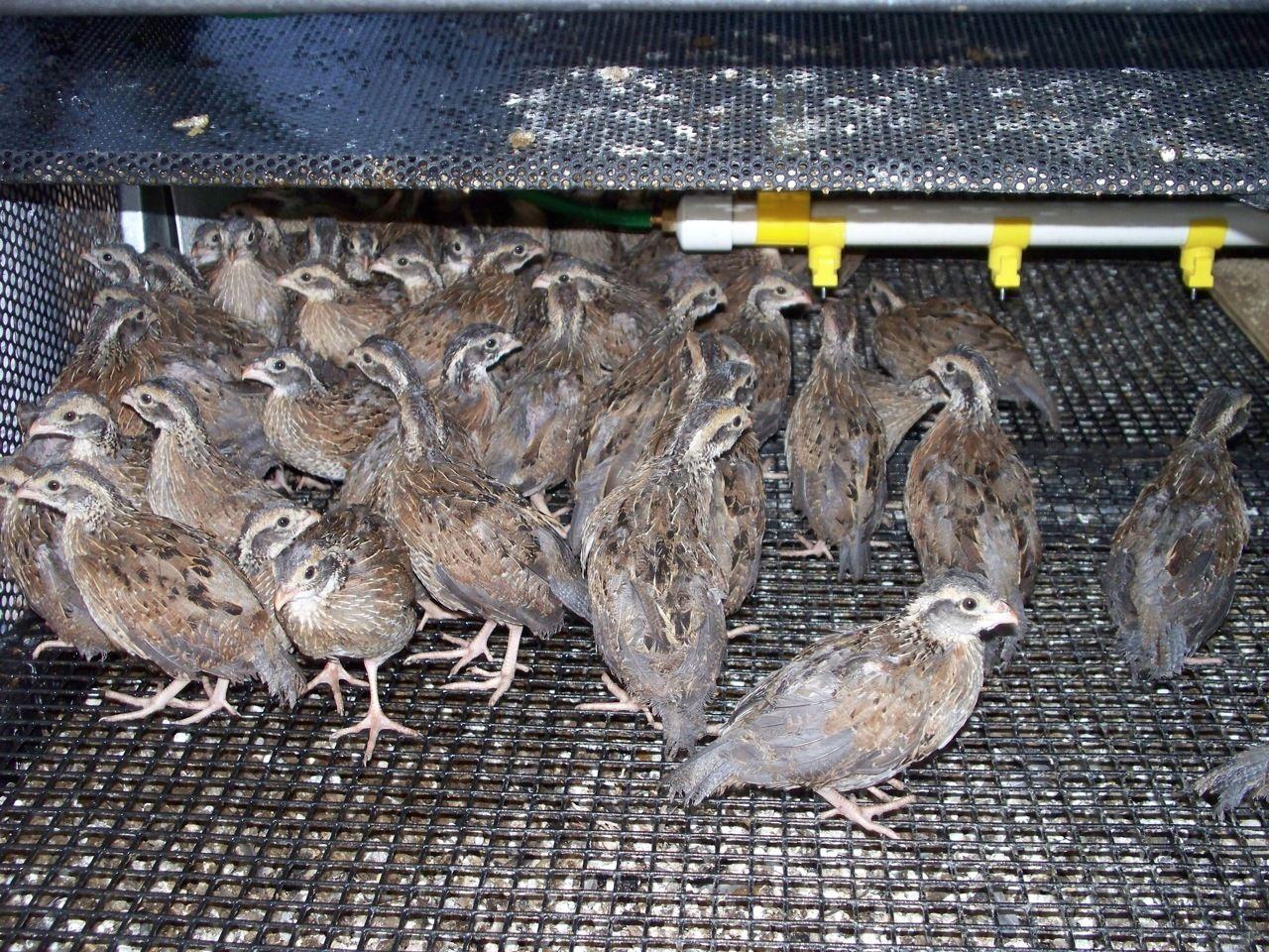 Промышленное птицеводство в домашних условиях - ч.1 8