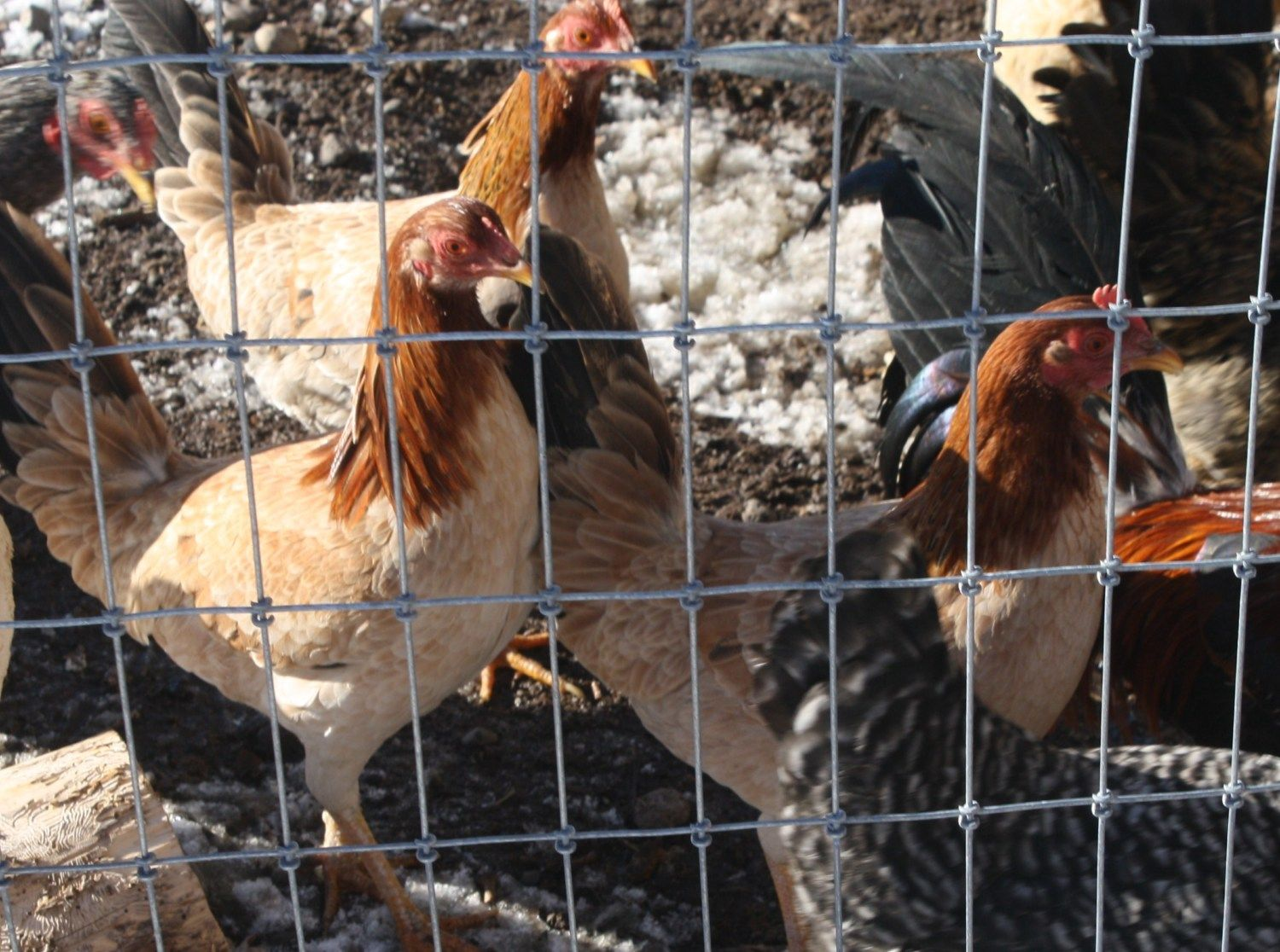 Yellow Leg Hatch Hens in comunity pin