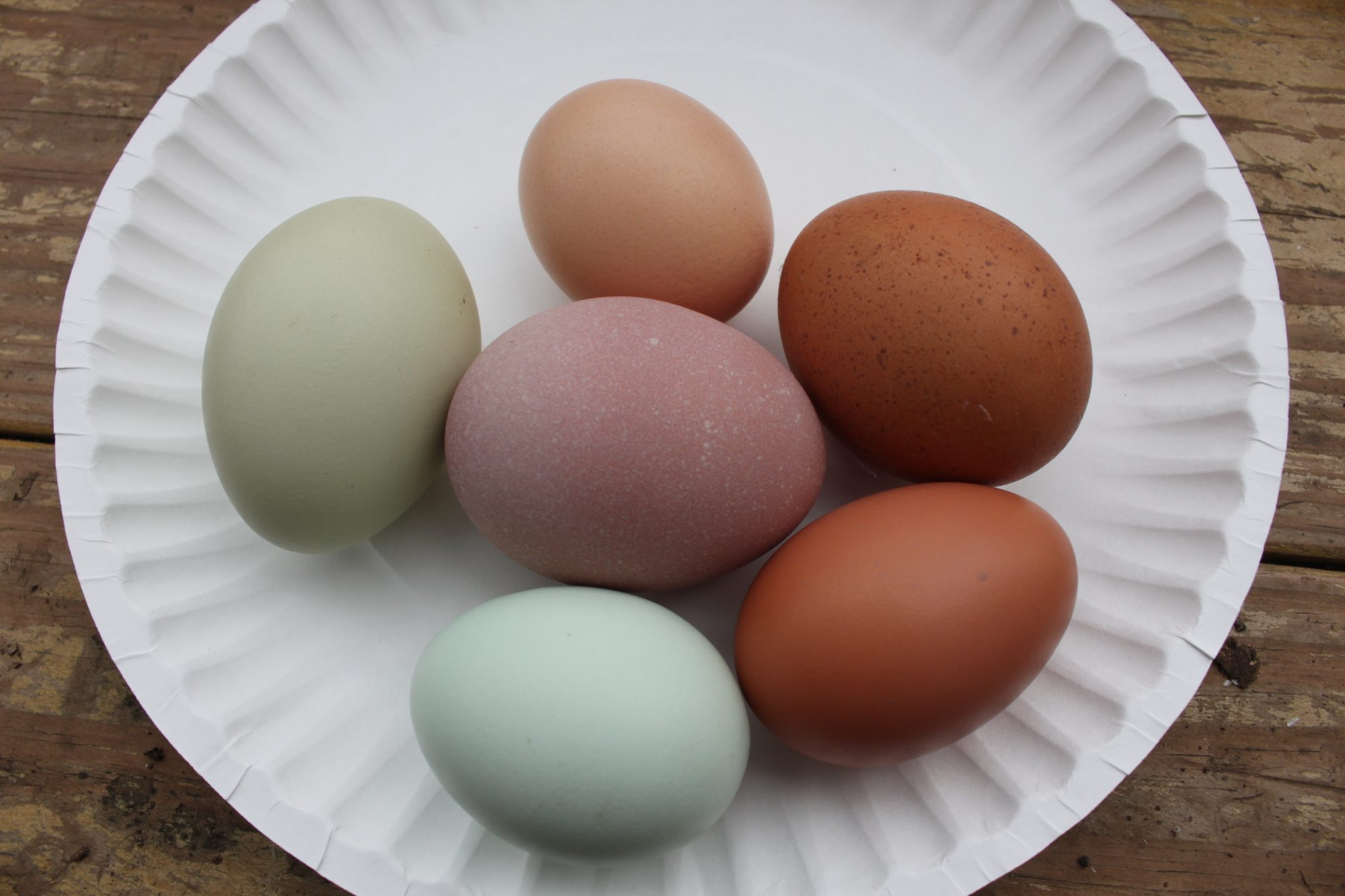 purple marans egg backyard chickens