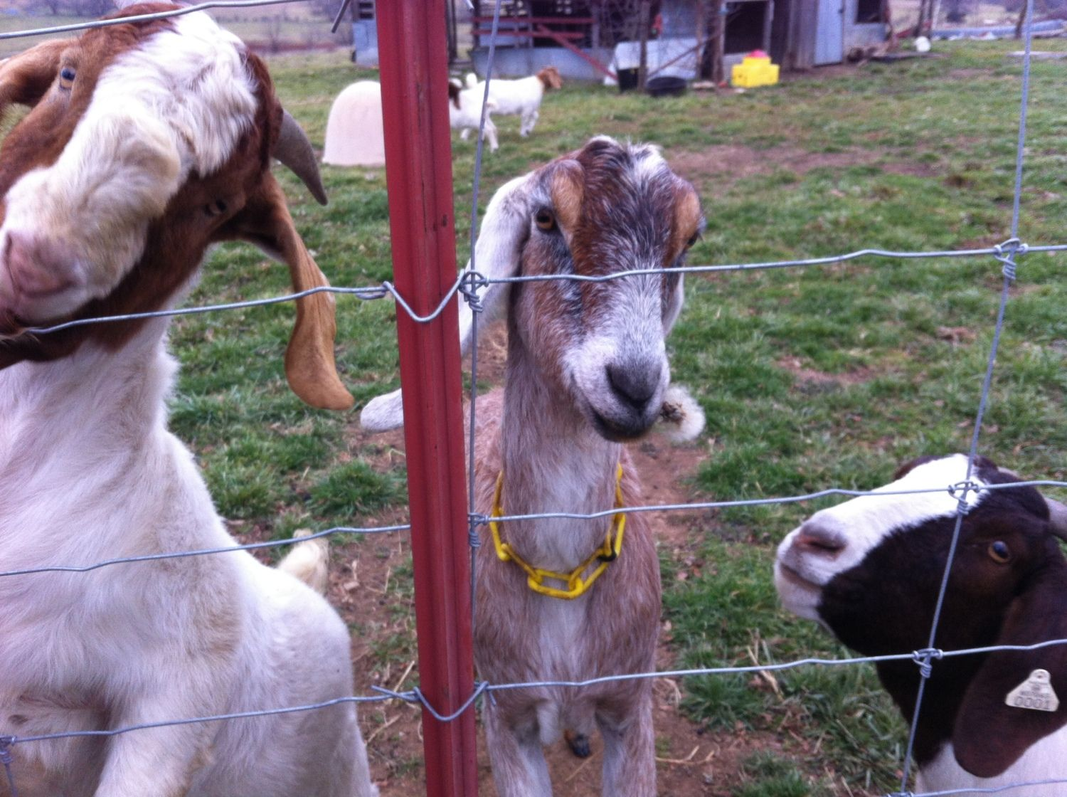 best breed of goat for a backyard farm backyard chickens