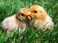 how to raise backyard chickens in your city the basics