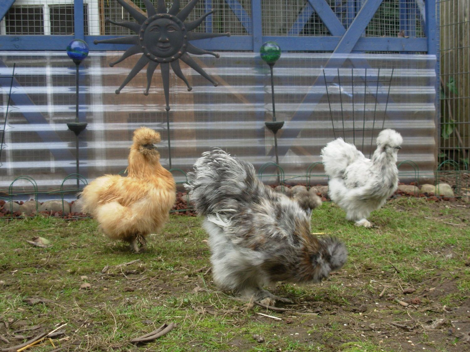 silkie sexing page 53 backyard chickens