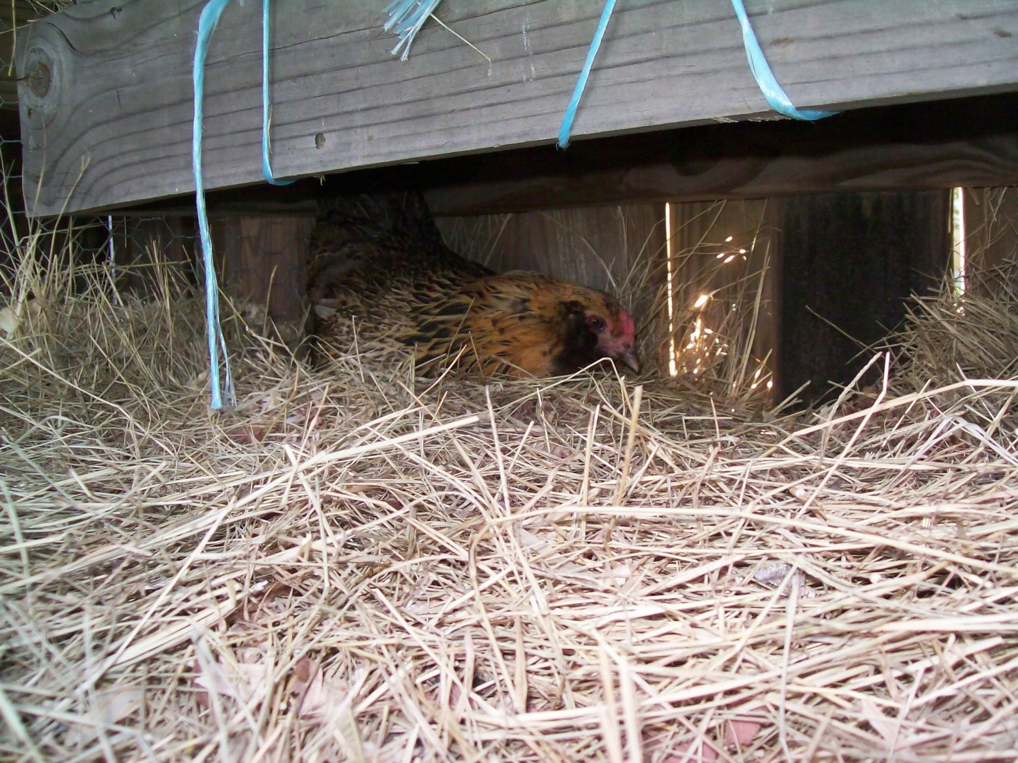 The spot under the nest boxes the Ladies decided to lay their eggs.