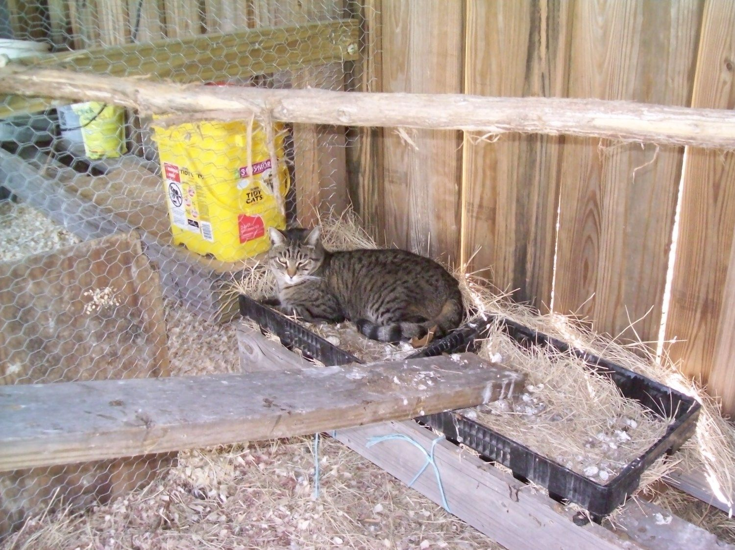 Outside cat Coon laying in the chicken coops