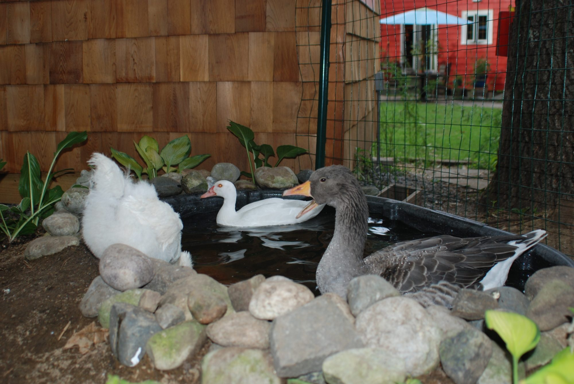 Show me you goose pen need ideas page 2 for Raising tilapia in a pool