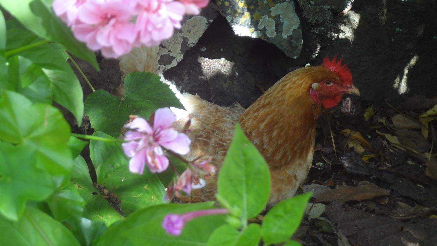 portuguese yellow or buff orpington backyard chickens